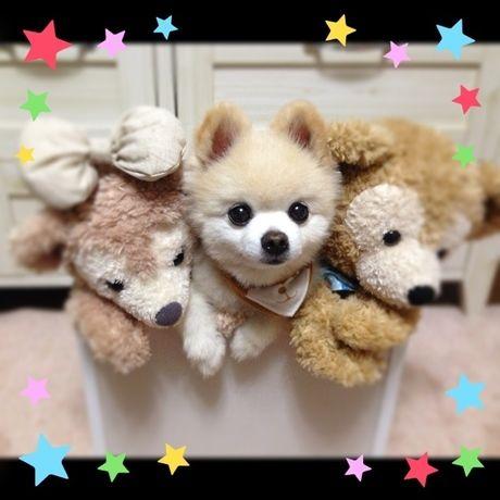 おもちゃ箱 Pomeranian SHUNSUKE