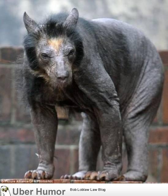 most animals get funnier when they are shaved, bears are just plain terrifying