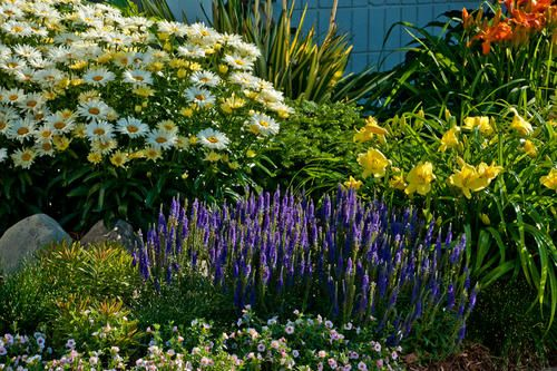 Proven Winners Quot Going Bananas Quot Daylily Shasta Daisy And Magic Show Quot Hocus Pocus Quot Veronica