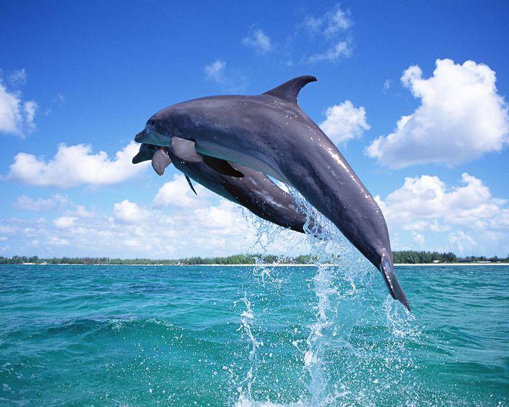 El espectáculo de los delfines libres y felices en las costas de Canarias