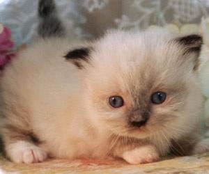 Napoleon Kittens for Sale | Persian Kittens | Saint Louis Munchkin ...