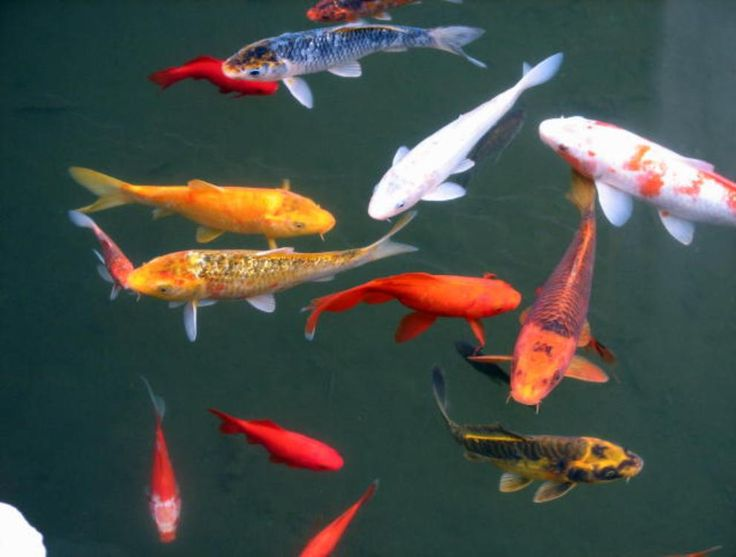 Create a healthy thriving pond filled with aquatic life for Perfect koi