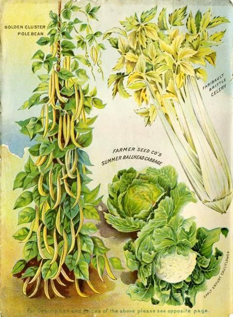 Color pages inside the catalogs were rare in 1906, but the Farmer Seed & Nursery catalog had this one.  Celery, cabbage, cauliflower and pole beans are beautifully presented to tempt potential purchasers.  Farmer Seed & Nursery originated in Faribault, MN in 1888. Andersen Horticultural Library hosts a collection of vintage Farmer Seed & Nursery catalogs.