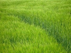 Health Benefits Of Barley Grass Supplements - Barley is a nutritious superfood rich in various vitamins, minerals and proteins and can be used extensively in multiple forms throughout its life.