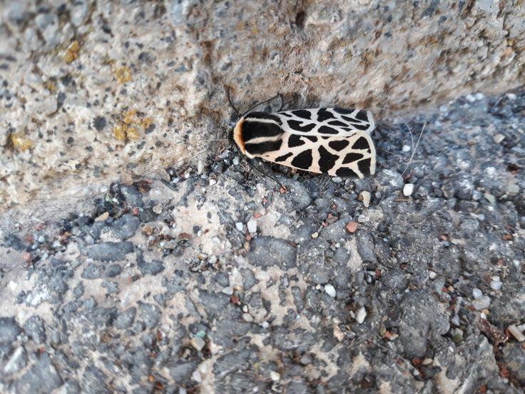 Lepidoptera, Cymbalophora pudica.