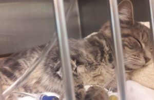 : **EMERGENCY VET CARE NEEDED TODAY BY 6PM! 4-Month Old Gray Tabby Kitten - BLAKE - With Head Trauma NEEDS TO LEAVE FOR VET ASAP!**
