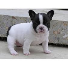 fransız bulldog ile ilgili görsel sonucu