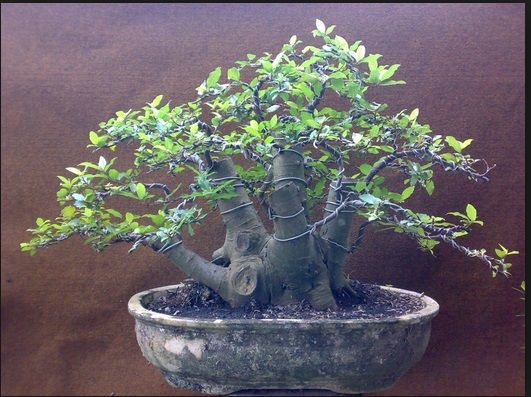 foto-bonsai-wareng
