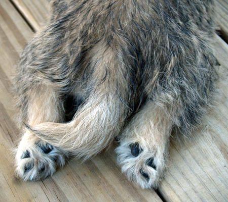 Cairn terrier feet :)