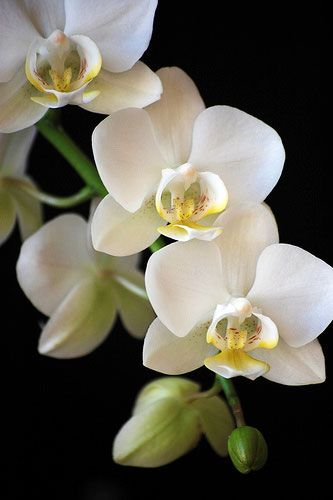White Phalaenopsis Orchids are found in the Rain-forests of South America and grow off the base of trees like a weed. To us they are beauty to be cherished....to the trees they creep up, they are poison.....x