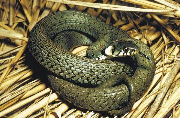 Ringslangen kunnen 2 meter lang worden. Hoorn- Nederland.