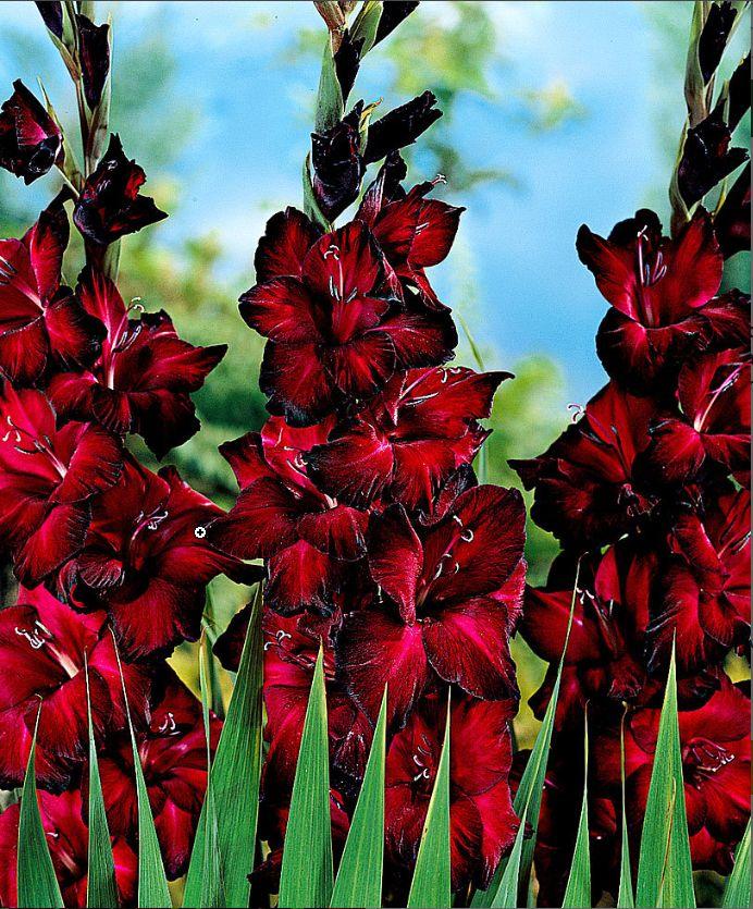 #gladioli #grandiflora #blackjack #summer #estate #flowers #fiori #red #rosso