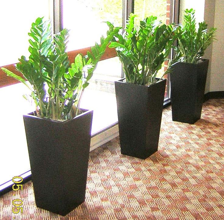 Amazing Indoor Plants Online #5: Google Image Result For Http://www.perfectplants.biz/three_zzs.