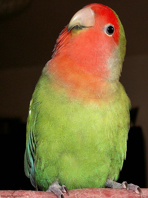 Ok this is my best side. Bosse. Lovebird