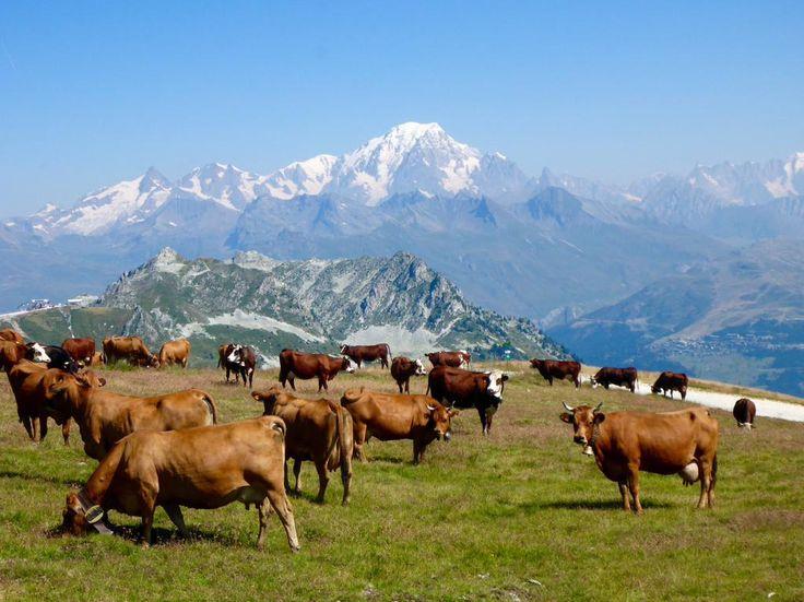 Là-haut sur la montagne, paissent les vaches. Photo J.Costagliola #alpages #peiseyvallandry #montblanc #vanoise