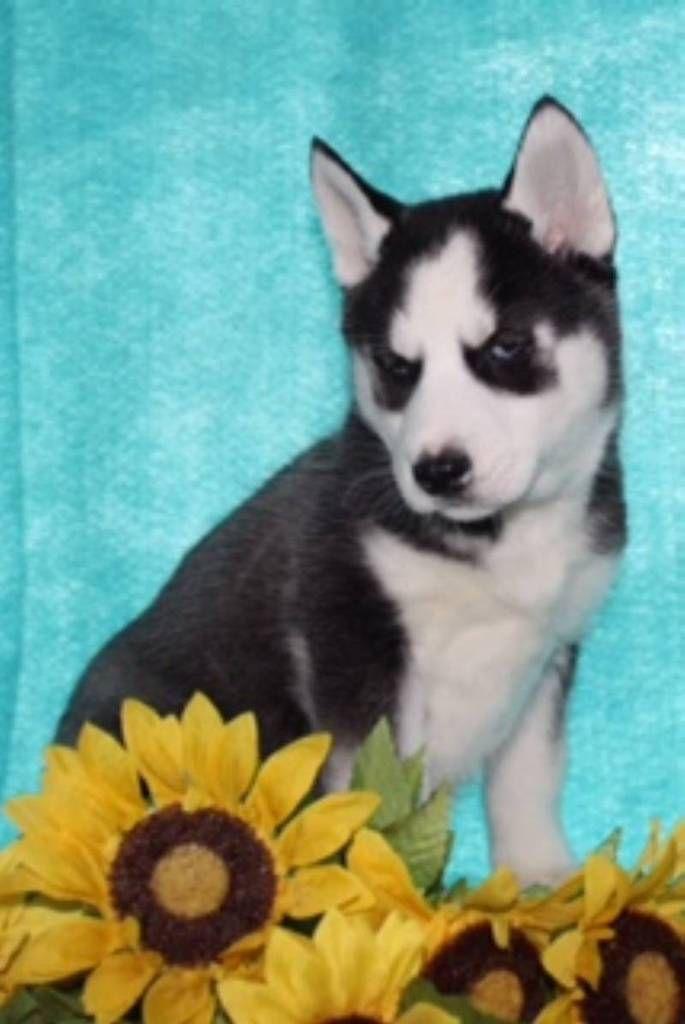 Jill Female Aca Siberian Husky 200 Husky Husky Puppies For
