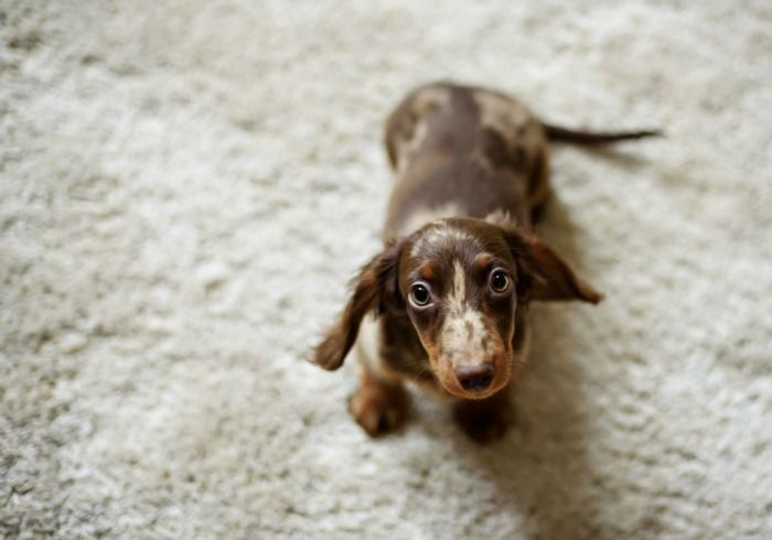 10 Things You Probably Don T Know About Dachshunds Animals Awwww