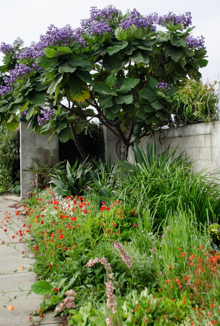 entrance garden with Paulownia tomentosa at Annie's Annuals, Richmond CA. April 2015