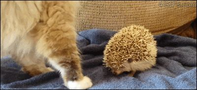 unwise seating choices ~ cat & hedgehog [GIF]