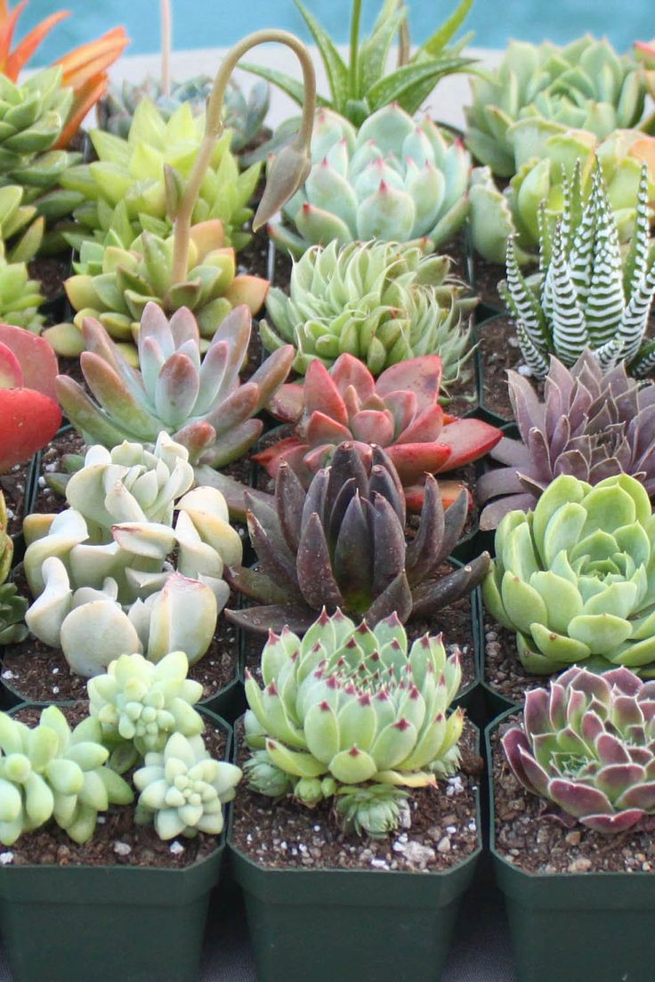 Four Colorful Succulents, YOU CHOOSE 4, Succulent, Succulents, Succulent  Plants, Hens and Chicks, Wedding Favors, Party Favors