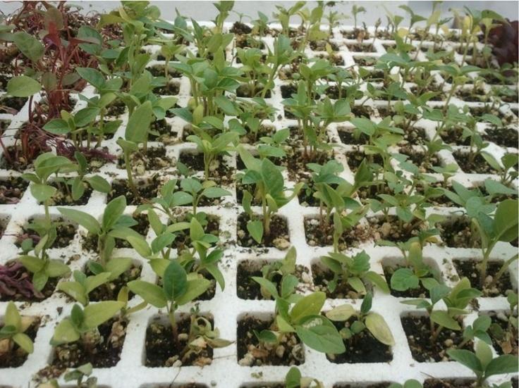 Hidroponia casera: La forma divertida y fácil de producir alimentos saludables para autoconsumo o para iniciarse como pequeño productor.