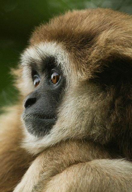 Lar Gibbon.  Gibbons are unusual because unlike 94 percent of all other primate species, they are monogamous, living in small families composed of a mated pair and up to four offspring. Gibbons are physically independent at about three, mature at about six, and usually leave the family group at about eight years of age.  (JasonBrownPhotography)