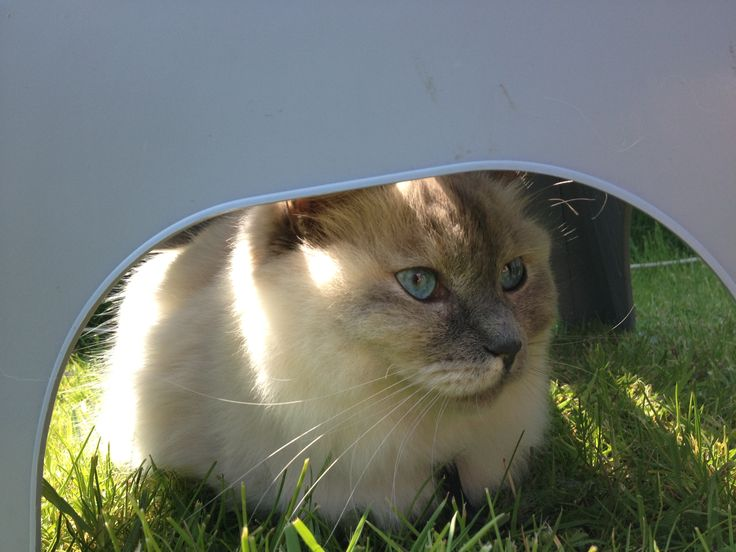 De ragdoll Laika heeft een beschut plekje gezocht op de camping.