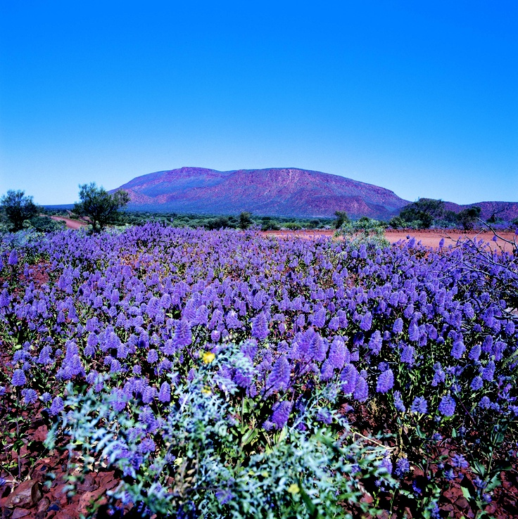 The purple Mulla Mulla at Mount Augustus. Western Australia
