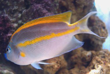 Bellus Angelfish Scientific Name Genicanthus Bellus