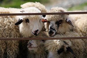 Subventii mai mari pentru crescatorii de ovine