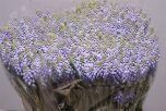 Muscari Blue! #Seasonal #Wedding #Muscari #Wholesale #Flowers