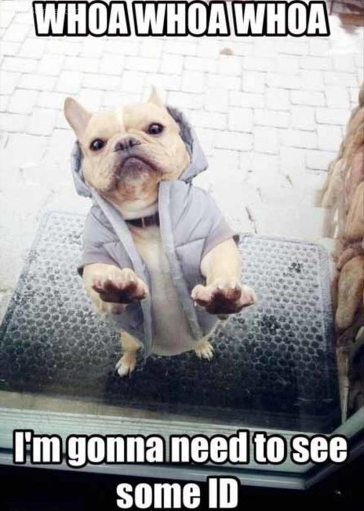 Frenchies in hoodies are so cute
