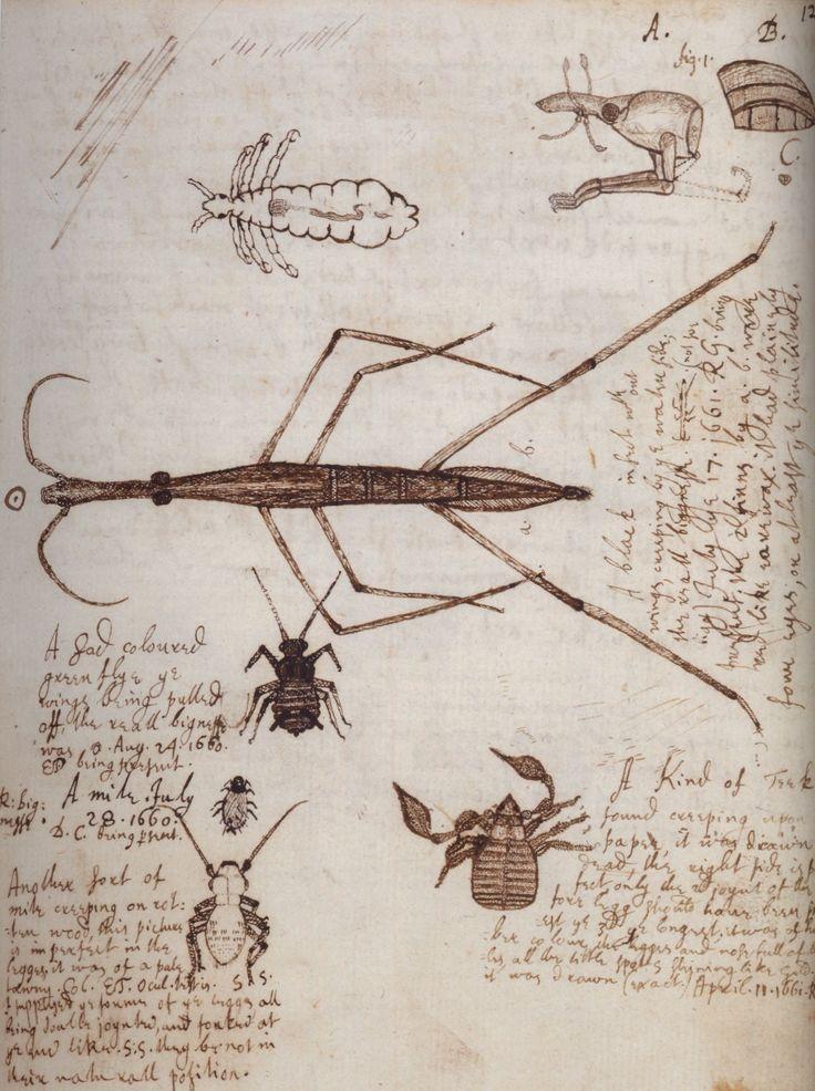 Apuntes de Robert Hooke. Año desconocido. Antes de Hooke no había sido posible hacer ilustraciones tan detalladas de animales tan pequeños como los piojos