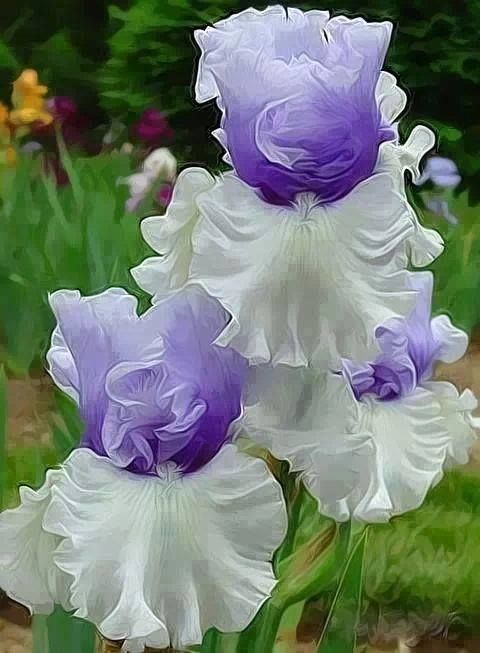 "✯ Iris- I miss the irises in June! The older people called them ""flags"". I don't know the name of this specimen, but it's gorgeous."