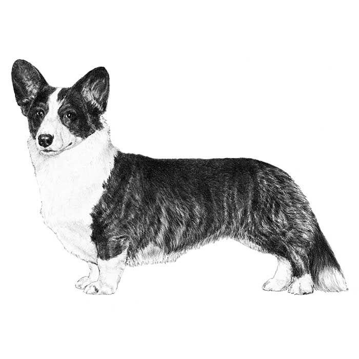 The Cardigan Welsh Corgi breed standard illustration.