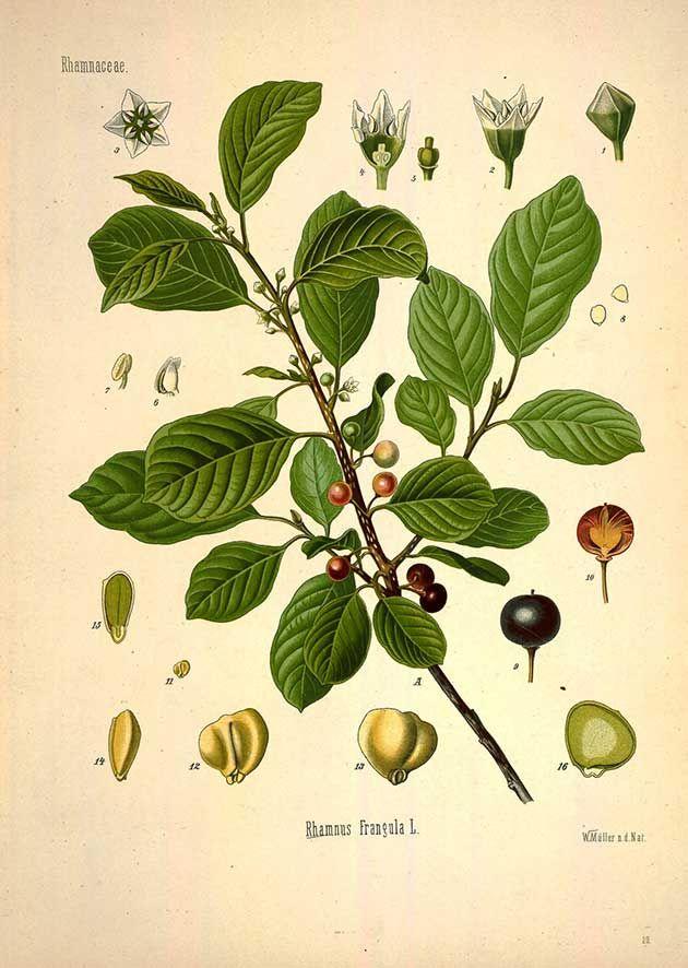 Rhamnus Frangula L. (Frangula alnus Mill. ) Alder buckthorn - Medicinal Botanical Plants