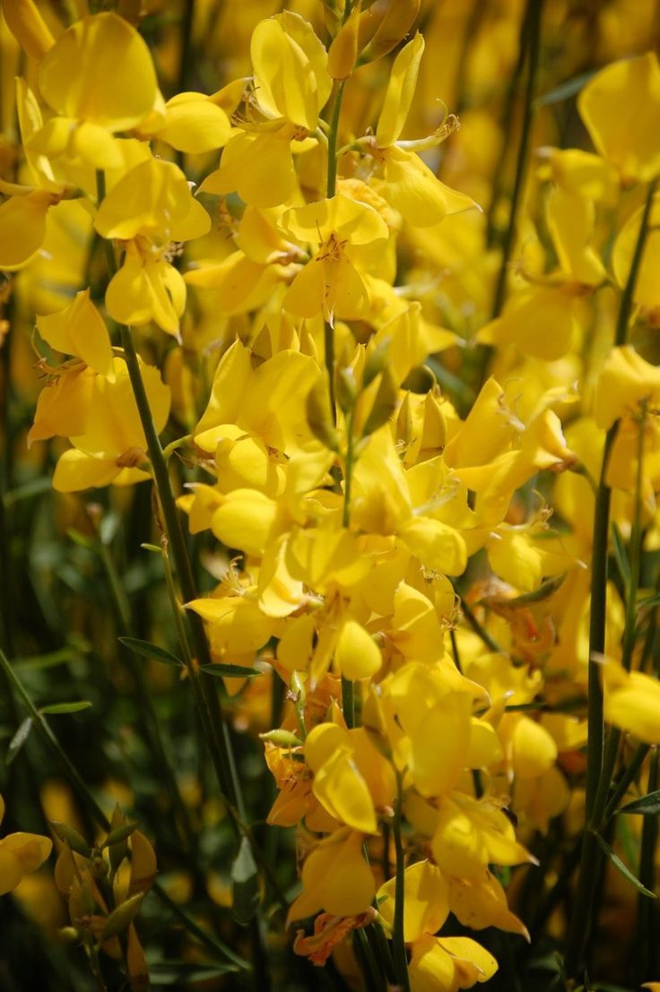 Spanish Broom. The smell is unbelievable.
