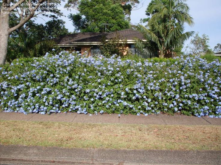 how to grow plumbago from cuttings