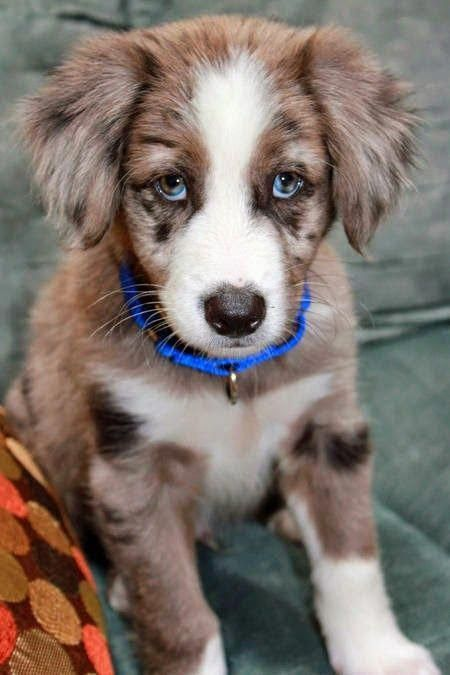 Top 10 Dog Breeds That Barks The Least – #australi…