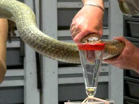 King Cobra Venom Extraction