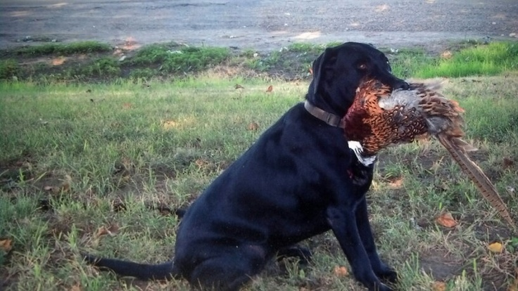 1000+ images about (mostly black) labradors (mostly ...