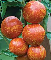 These #heirloom #tomatoes are called red zebras – their cousins, the green zebras are just as eye-catching!