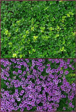 1000 images about plantes couvre sol on pinterest white flowers sun and planters - Planter hortensia plein soleil ...