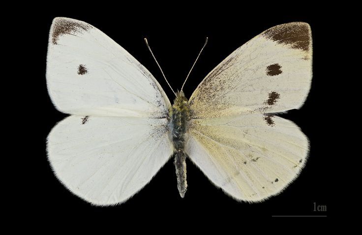 Um exemplar Ginandromorfo da borboleta branca da couve (Pieris brassicae). Um ginandromorfo é um organismo que contém características tanto masculinas como femininas. Fotografia: Didier Descouens.