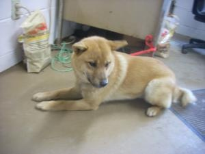 #3 URGENT! ( 1YR) is an adoptable Shiba Inu Dog in Carrollton, OH. Available for a limited time from the Carroll County Dog Pound, 2185 Kensington Rd. NE, Route 9, Carrollton, Ohio 44615, 330-627-4244...