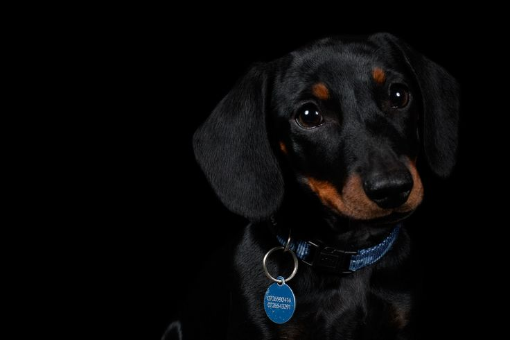 Whiskey - Miniature Dachshund © www.thebeingproject.co.za