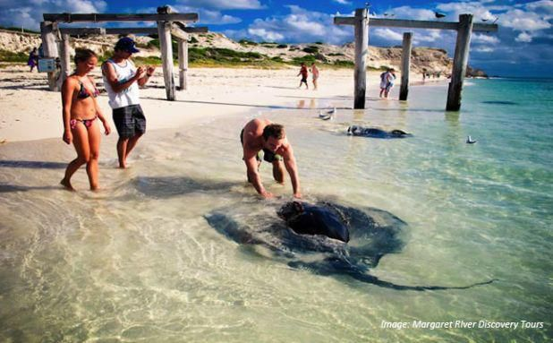 Friendly sting rays visit the beach at Hamelin Bay in the south of Western Australia's Margaret River Region.