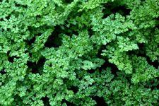 Terebess: ehető vadnövények - Zamatos turbolya