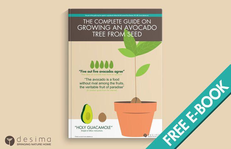 HowTo Grow an Avocado Tree From Seed  Mature Avocado Tree  Some Fun Fact about Avocados Call them ahuacatl, avocaat, abogado, avocatier, agovago pears or alligator  pear, from guacamole to sushi, the world over has enjoyed avocados in a  variety of ways. Once considered to have an aphrodisiac effect in many  cultures, avocado growers put a lot of effort into dispelling this  reputation to increase its popularity. From guacamole to sushi, avocados have been enjoyed for centuries by all…