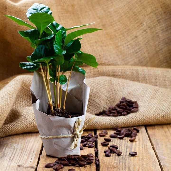 Heti kedvenc-ünk: Kávécserje! A kávéról kevesen tudják hogy eredeti hazája Etiópia ahol a hegységek magasabban fekvő fennsíkjain vadon nő és akár 6-8 méteres fává is felcseperedik.  Ez az örökzöld melegkedvelő fagyérzékeny cserje bokros habitusával és fényes sötétzöld leveleivel mutatós dísze lehet otthonunknak. 3-4 éves korában megfelelő körülmények között akár teremhet is! 13 Celsius alatti hőmérsékletre és huzatra levélhullatással reagálhat. Kiváló szobanövény ami szereti a meleg lakást…